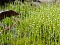 Some moss with morning dew on it.jpg