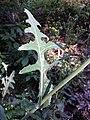 Sonchus arvensis subsp. arvensis sl4.jpg