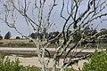 Song Sparrow - Melospiza melodia (41009748150).jpg