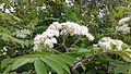 Sorbus aucuparia, Sorbier des oiseaux, fleurs.jpg