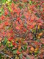 Sorbus aucuparia (10510397606).jpg