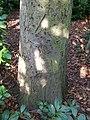 Sorbus intermedia3.jpg
