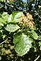 Sorbus latifolia kz01.jpg