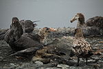 Southern Giant Petrel eats as a Brown Skua and Northern Giant Petrel wait their turn (5725125418).jpg