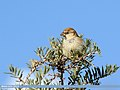 Spanish Sparrow (Passer hispaniolensis) (24609894658).jpg