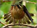 Speckled Hummingbird (Adelomyia melanogenys) 8.jpg