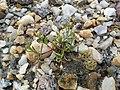 Spergularia marina sl57.jpg