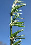 Spergularia rubra leaf2 ST (16024708469).jpg