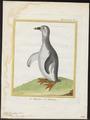 Spheniscus demersus - 1700-1880 - Print - Iconographia Zoologica - Special Collections University of Amsterdam - UBA01 IZ17800205.tif