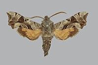 Sphingonaepiopsis kuldjaensis BMNHE272577 male up.jpg