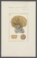 Spongia agaricina - - Print - Iconographia Zoologica - Special Collections University of Amsterdam - UBAINV0274 112 02 0023.tif
