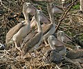 Spot-billed Pelican (Pelecanus philippensis)- Immatures at nest in Garapadu, AP W IMG 5212.jpg