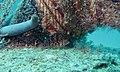 Spotted Hawkfish (Cirrhitichthys aprinus) (6102953399).jpg