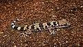 Spotted Leaf-toed Gecko Hemidactylus maculatus by Dr. Raju Kasambe DSCN8001 (3).jpg