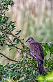 Spotted dove.jpeg