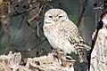 Spotted owlet Athene brama (2155235114).jpg