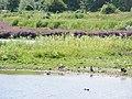 St Margarets Purple Loosetrife - 36032870245.jpg