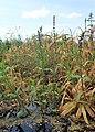 Stachys palustris kz06.jpg