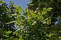 Staphylea pinnata B.jpg