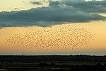 Starling Murmuration - RSPB Minsmere (22077875541).jpg