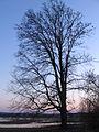 Starlings on a tree - panoramio.jpg