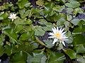 Starr-010914-0054-Nymphaea sp-flower-Lahaina-Maui (24174368569).jpg