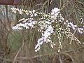 Starr-030923-0212-Tamarix aphylla-flowers-LZ1-Kahoolawe (24614048236).jpg