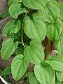 Starr-061106-1440-Dioscorea alata-leaves-Maui Nui Botanical Garden-Maui (24842091566).jpg