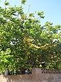 Starr-090714-2685-Phyllanthus acidus-fruiting habit-Napili-Maui (24943253706).jpg
