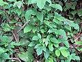 Starr-090714-2822-Sandoricum koetjape-habit-Honokahau Valley-Maui (24969805755).jpg