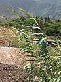 Starr-090803-3578-Arundo donax-flowering habit near dirt pile-Iao Stream Wailuku-Maui (24852979722).jpg