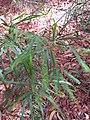 Starr-090804-3684-Acacia melanoxylon-seedling-MISC HQ Piiholo-Maui (24675631150).jpg