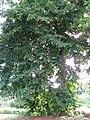 Starr-091104-0676-Terminalia megalocarpa-habit-Kahanu Gardens NTBG Kaeleku Hana-Maui (24691941410).jpg