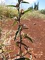 Starr-110412-5122-Sida rhombifolia-flowers and leaves-Kahana West Maui-Maui (24455902733).jpg