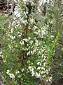 Starr-110609-6150-Erica lusitanica-leaves and flowers-Shibuya Farm Kula-Maui (25070498626).jpg