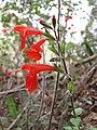 Starr-120229-2745-Salvia coccinea-flowers-Waikapu Valley-Maui (24768265989).jpg