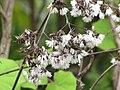 Starr-120312-3823-Roldana petasitis-seeds and pappus-Kula Botanical Garden-Maui (25111485756).jpg