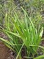 Starr-120425-4849-Dianella sandwicensis-form multipedicellata-Waikapu Valley-Maui (25046503081).jpg