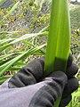 Starr-120425-5149-Dianella sandwicensis-form multipedicellata-Waikapu Valley-Maui (25047002901).jpg