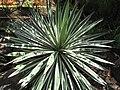 Starr-120522-6231-Agave angustifolia-habit-Iao Tropical Gardens of Maui-Maui (24775661759).jpg