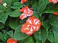 Starr-130114-1416-Impatiens walleriana-flowers with water spots-Paia-Maui (24836860249).jpg