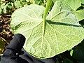Starr-130911-0971-Sicyos maximowiczii-leaf backside-NE Lake-Laysan (25104958112).jpg