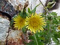 Starr-150403-0983-Sonchus oleraceus-flowers-Southeast Eastern Island-Midway Atoll (24650602083).jpg