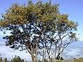 Starr 020221-0022 Sophora chrysophylla.jpg