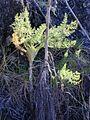 Starr 030210-0006 Foeniculum vulgare.jpg
