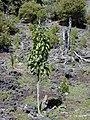 Starr 030222-0049 Nothocestrum latifolium.jpg