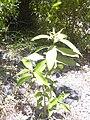 Starr 040731-0035 Nestegis sandwicensis.jpg