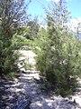 Starr 040902-0026 Casuarina equisetifolia.jpg
