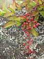 Starr 050815-7398 Rubus argutus.jpg