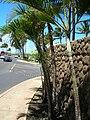 Starr 060922-9128 Chrysalidocarpus lutescens.jpg